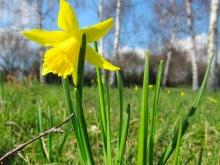 in foto un narciso giallo solo tra i campi